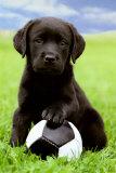 Labrador Affiches