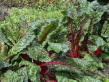 Close-Up of a Row of Rhubarb Chard Beet Leaves in August in England Photographic Print by Michael Black