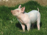 Pretty Little Piglet Posing for Camera Photographic Print by Michael Black