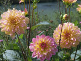 Yellow and Pink Decorative Dahlias Taken in August in England Photographic Print by Michael Black