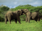 Two African Elephants Greeting, Kruger National Park, South Africa, Africa Photographic Print by Paul Allen
