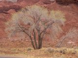 Cottonwood Tree, Capitol Reef National Park, Utah, United States of America, North America Photographic Print by Jean Brooks