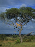 Cheetah in a Tree, Kruger National Park, South Africa, Africa Photographic Print by Paul Allen
