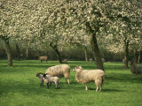 Sheep and Lambs Beneath Apple Trees in a Cider Orchard in Herefordshire, England Photographic Print by Michael Busselle