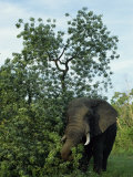 African Elephant, Kruger National Park, South Africa, Africa Photographic Print by Paul Allen