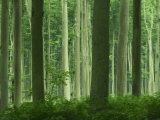 Tall Straight Trunks on Trees in Woodland in the Forest of Lyons, in Eure, Haute Normandie, France Photographic Print by Michael Busselle