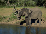 African Elephant on the Edge of Water, Kruger National Park, South Africa, Africa Photographic Print by Paul Allen