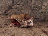 Lion with Prey, Kruger Park, South Africa, Africa Photographic Print by Paul Allen