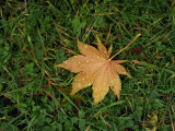 Fallen Leaf on Grass, with Dew Drops Photographic Print by Steve Bavister