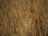 Portrait of a Lioness Hiding and Camouflaged in Long Grass, Kruger National Park, South Africa Fotografie-Druck von Paul Allen