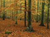 Woodland of Beech Trees in Autumn in the Forest of Compiegne in Picardie, France, Europe Photographic Print by Michael Busselle