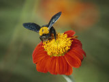 Bumble Bee on a Dahlia, England, United Kingdom, Europe Photographic Print by Jeremy Bright
