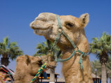 Camel, Sealine Beach Resort, Qatar, Middle East Photographic Print by Charles Bowman