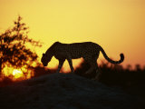 Cheetah, Okavango Delta, Botswana, Africa Photographic Print by Paul Allen