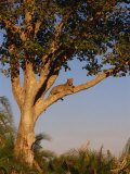 Leopard in a Tree, Okavango Delta, Botswana, Africa Photographic Print by Paul Allen
