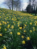 Daffodils in Spring Photographic Print by Jeremy Bright
