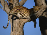 Leopard in Tree, Okavango Delta, Botswana, Africa Photographic Print by Paul Allen
