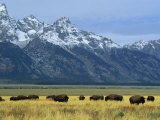 Bison and the Teton Range, Grand Teton National Park, Wyoming, USA Photographic Print by Jean Brooks