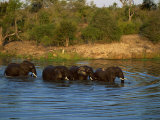 Small Group of African Elephants in Water, Kruger National Park, South Africa, Africa Photographic Print by Paul Allen