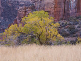 Cottonwood Tree and Reeds, Zion National Park in Autumn, Utah, USA Photographic Print by Jean Brooks