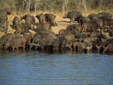 Herd of Cape Buffalo Drinking at a Water Hole, Kruger National Park, South Africa Photographic Print by Paul Allen