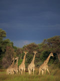 Small Group of Southern Giraffe, Okavango Delta, Botswana, Africa Photographic Print by Paul Allen