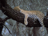 Close-Up of a Single Leopard, Asleep in a Tree, Kruger National Park, South Africa Photographic Print by Paul Allen