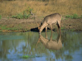 Single Waterbuck Reflected in Water of Water Hole Drinking, Kruger National Park, South Africa Photographic Print by Paul Allen