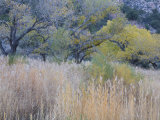 Cottonwood Trees and Grasses, Zion National Park in Autumn, Utah, USA Photographic Print by Jean Brooks