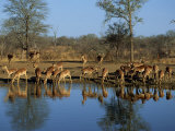 Group of Impala Drinking by a Water Hole, Kruger National Park, South Africa Photographic Print by Paul Allen