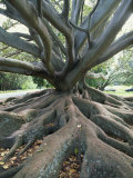 Trunk and Roots of a Tree in Domain Park, Auckland, North Island, New Zealand, Pacific Photographic Print by Jeremy Bright