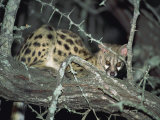 Close-Up of a Single Small Spotted Genet in a Thorn Tree, Kruger National Park, South Africa Photographic Print by Paul Allen