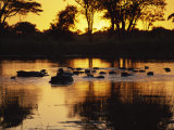 Tranquil Scene of a Group of Hippopotamus in Water at Sunset, Okavango Delta, Botswana Photographic Print by Paul Allen