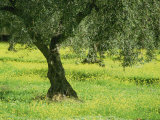 Landscape of Olive Tree and Wild Flowers Near Trujillo, in Extremadura, Spain, Europe Photographic Print by Michael Busselle