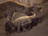 Spotted Hyenas, Kruger National Park, South Africa, Africa Photographic Print by Paul Allen