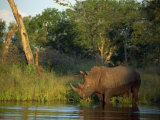 Single Square-Lipped or White Rhinoceros Standing in Water, Kruger National Park, South Africa Photographic Print by Paul Allen