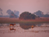 Red Lechwe Walking and Reflected in Water in the Evening, Okavango Delta, Botswana Photographic Print by Paul Allen