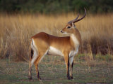 Close-Up of a Red Lechwe, Okavango Delta, Botswana, Africa Photographic Print by Paul Allen