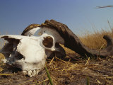 Skull of Cape Buffalo, Kruger National Park, South Africa, Africa Photographic Print by Paul Allen