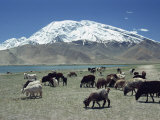 Livestock Grazing Near Karakuli Lake on the Karakorum Highway in Xinjiang, China Photographic Print by Gina Corrigan