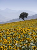 Sunflowers, Near Ronda, Andalucia, Spain, Europe Photographic Print by Mark Banks