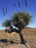 Tree-Like Yakka Plant, Flinders Range, South Australia, Australia, Pacific Photographic Print by Neale Clarke