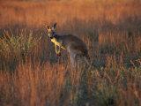 Close-Up of a Grey Kangaroo, Flinders Range, South Australia, Australia Photographic Print by Neale Clarke