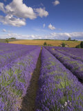 Rows of Lavender Plants, Broadway, Worcestershire, Cotswolds, England, UK Photographic Print by Neale Clarke