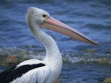 Australian Pelican, Kingscote, Kangaroo Island, South Australia, Australia Photographic Print by Neale Clarke