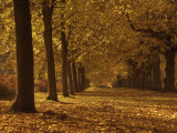 Lime Tree Avenue in Autumn Colours, Clumber Park, Worksop, Nottinghamshire, England, United Kingdom Photographic Print by Neale Clarke
