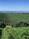 Vineyards, Oliverhill Wines, Mclaren Vale, South Australia, Australia, Pacific Photographic Print by Neale Clarke