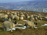 Sheep in Winter, North Yorkshire Moors, England, United Kingdom, Europe Photographic Print by Rob Cousins