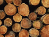 Close-Up of Cut Logs in a Timber Pile, Hassness Wood, Lake District, Cumbria, England, UK Photographic Print by Neale Clarke
