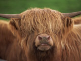 Close-Up of the Head of a Shaggy Highland Cow with Horns, Looking at the Camera, Scotland, UK Photographic Print by Neale Clarke
